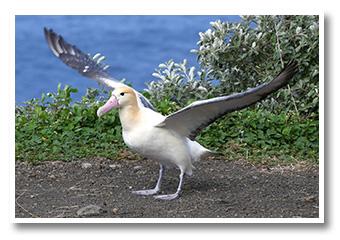アホウドリの画像 p1_17